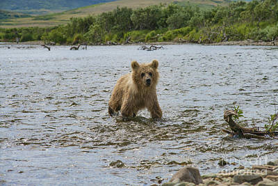 Photograph - Brown Bear Cub Following Mother Up Stream by Dan Friend