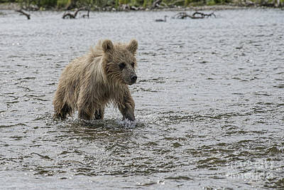 Photograph - Brown Bear Cub In Shallow Water Walking Upstrream by Dan Friend