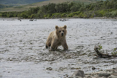 Photograph - Brown Bear Cub Looking For His Mother Upstream by Dan Friend