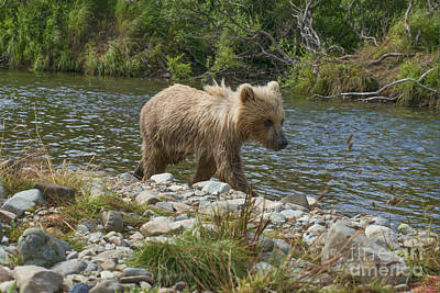 Photograph - Brown Bear Cub On Bank Following Mother Upstream by Dan Friend