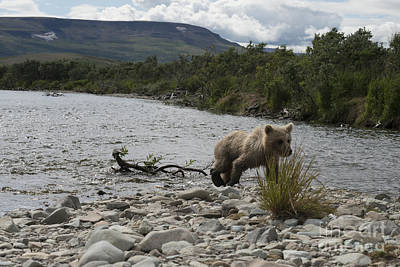 Photograph - Brown Bear Cub Walking On Shore by Dan Friend