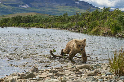 Brown Bear Cub Walking Up Stream Trying Keep Up With Mom Art Print by Dan Friend