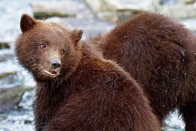 Brown Bear Photograph - Brown Bear Cubs by John Devries