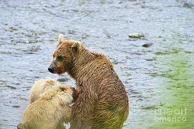 Photograph - Brown Bear Cubs Nursing by Dan Friend
