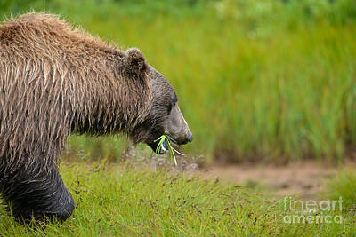 Photograph - Brown Bear Eating Grass by Dan Friend