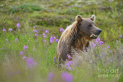 Photograph - Brown Bear Eating Salmon In Field by Dan Friend