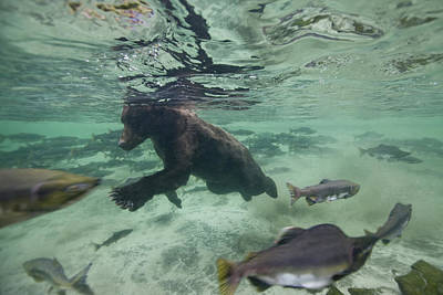 Nature Of Bear. Nature Of Bear In Water.grizzly Photograph - Brown Bear Fishes Underwater by Paul Souders
