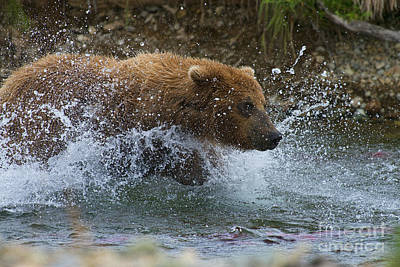 Photograph - Brown Bear Giving Chase by Dan Friend