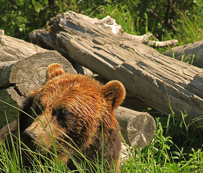 Photograph - Brown Bear In Alaska by Ronald Olivier