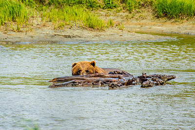 Photograph - Brown Bear In Alaska by Shey Stitt
