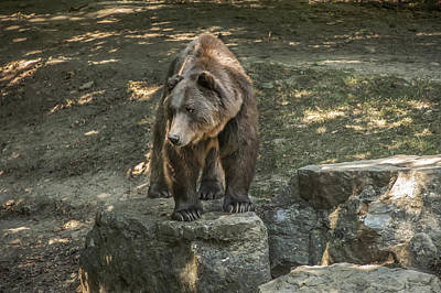 Photograph - Brown Bear In Color by Patrick Boening