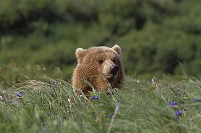 Grizzly Photograph - Brown Bear In Tall Grass Along Mikfik by Johnny Johnson