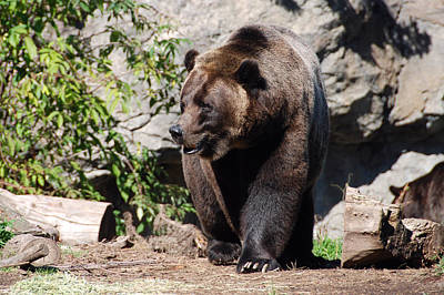 Photograph - Brown Bear by John Schneider
