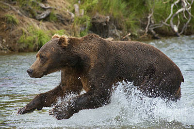 Photograph - Brown Bear Jumping In Water by Dan Friend