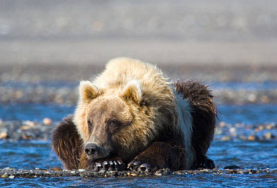Photograph - Brown Bear by Karen Lindquist