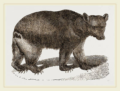 Brown Bear Drawing - Brown Bear by Litz Collection