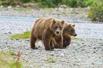 Photograph - Brown Bear Mother And Cub Walking Up Stream by Dan Friend
