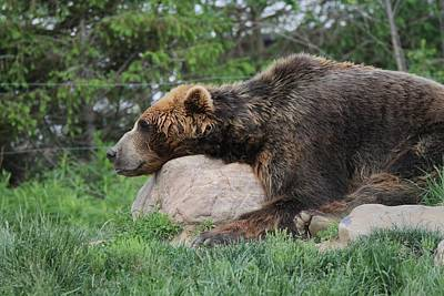 Photograph - Brown Bear Nap by Dan Sproul