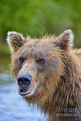 Photograph - Brown Bear Portrait by Dan Friend