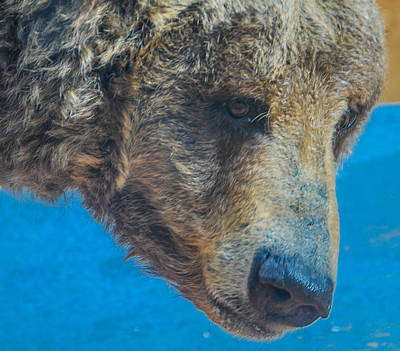 Photograph - Brown Bear Portrait by Harry Strharsky