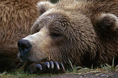 Photograph - Brown Bear Resting Katmai Natl Park by Gary Schultz