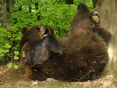 Photograph - Brown Bear - Rollover by Phil Banks