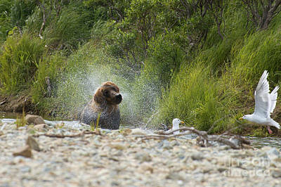 Photograph - Brown Bear Shaking Looking Like Dog by Dan Friend