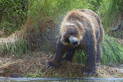 Brown Bear Shaking Water Off After An Unsucessful Salmon Dive Print by Dan Friend