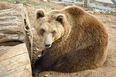 Photograph - Brown Bear Sitting by Brch Photography