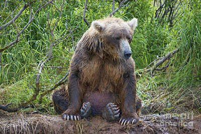 Brown Bear Sitting Waiting For Salmon Print by Dan Friend
