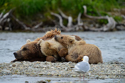 Traditional Bells Rights Managed Images - Brown bear sleeping middle of Funnel Creek Royalty-Free Image by Dan Friend