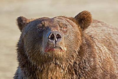 August Photograph - Brown Bear Sniffing Air by John Devries