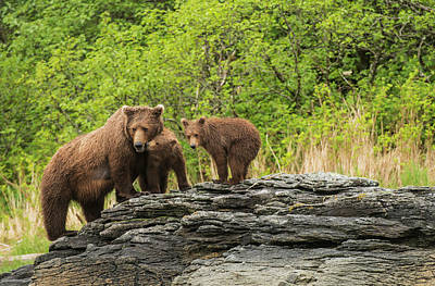 Brown Bear Sow And Cubs In Kukak Bay Art Print