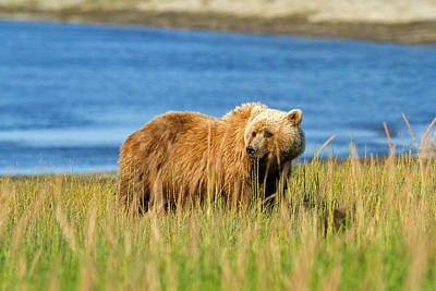 Photograph - Brown Bear Sow by Shari Sommerfeld