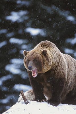 Photograph - Brown Bear Standing In Snow by Milo Burcham