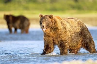 Brown Bear Photograph - Brown Bear Standing In Water by John Devries