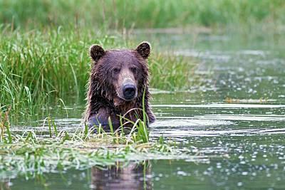 Brown Bear Photograph - Brown Bear Swimming by John Devries