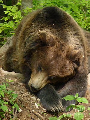 Photograph - Brown Bear - Time To Snooze by Phil Banks