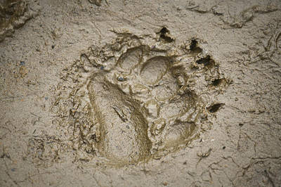 Bear Photograph - Brown Bear Track In The Mud On The by Jim Kohl