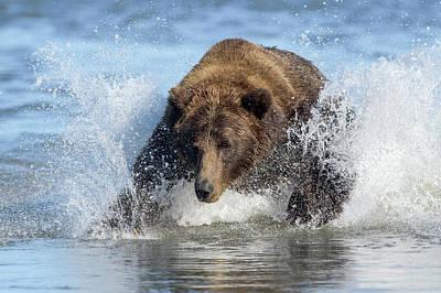 Animal Behavior Photograph - Brown Bear, Ursus Arctos, Fishing by Bob Smith