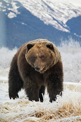 Of Bear Photograph - Brown Bear  Ursus Arctos  In The Frosty by Doug Lindstrand