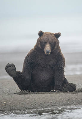 Animal Behavior Photograph - Brown Bear, Ursus Arctos, Sitting by Bob Smith