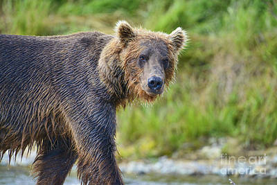 Photograph - Brown Bear Walking Along Stream by Dan Friend