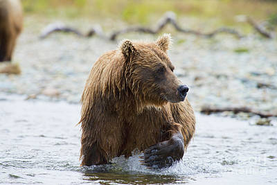 Photograph - Brown Bear With Big Paw Out Of Water by Dan Friend
