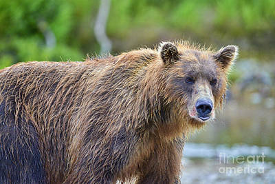 Photograph - Brown Bear With Red Salmon On Fur by Dan Friend