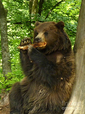 Photograph - Brown Bear - Wood Chew by Phil Banks
