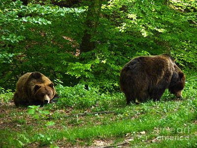 Photograph - Brown Bears - Beechwood by Phil Banks