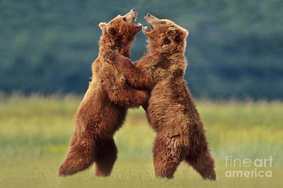 Brown Bears Sparring Art Print by Frans Lanting MINT Images
