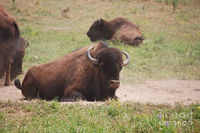 Photograph - Brown Buffalo by Mark McReynolds