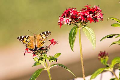 Photograph - Brown Butterfly by John Ferrante